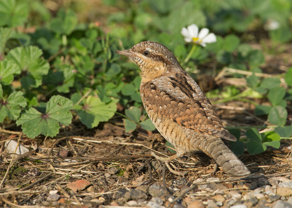 Eurasian Wryneck, Beacon Lane, Kilnsea (on the same driveway that the 2013 Great Snipe frequented)