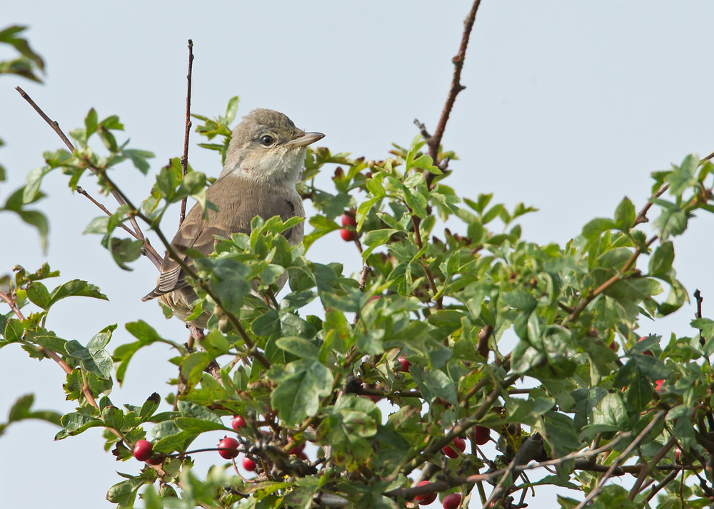 Barred Warbler, in the hedge opposite Kilnsea Church, a real brute that stuffed its face with elderberries all day