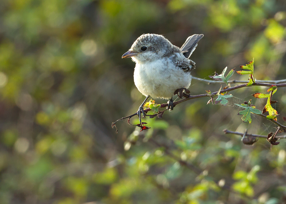 Masked Shrike at Kilnsea, Spurn