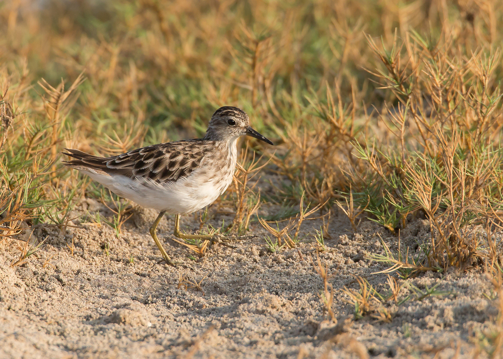 Long-toed Stint, Khawr ad Dahariz, Oman, November 2014