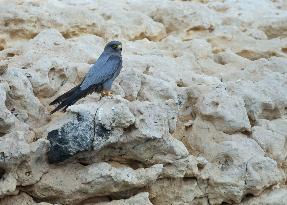 Sooty Falcon, Al Fahl Island Oct 2014