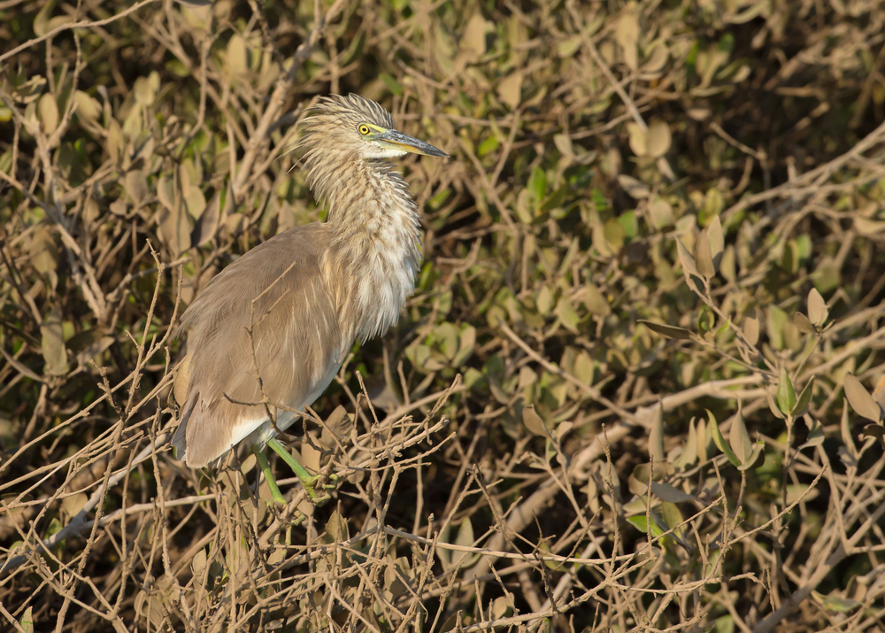 Indian Pond Heron, Liwa Oct 2014