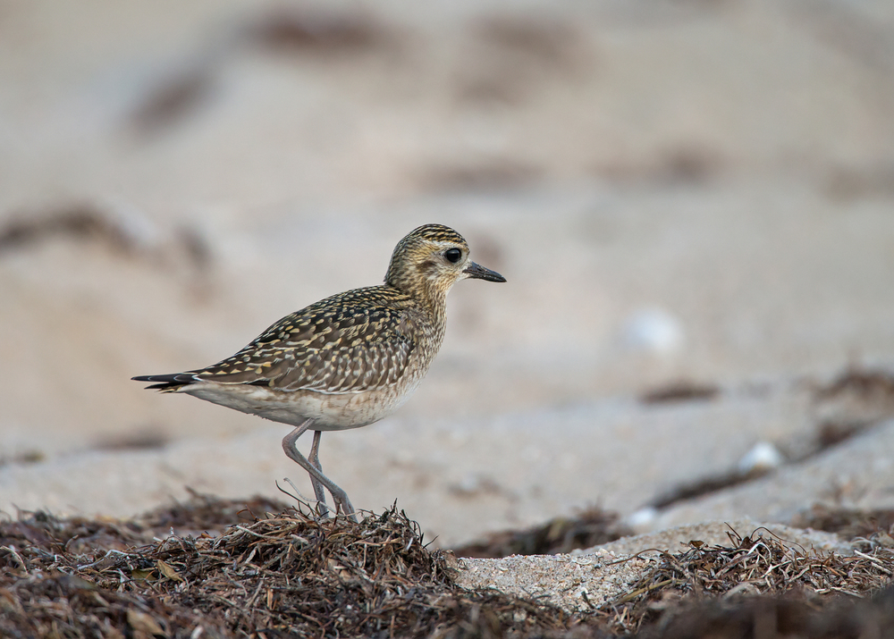 Pacific Golden Plover, Shannah Oct 2014