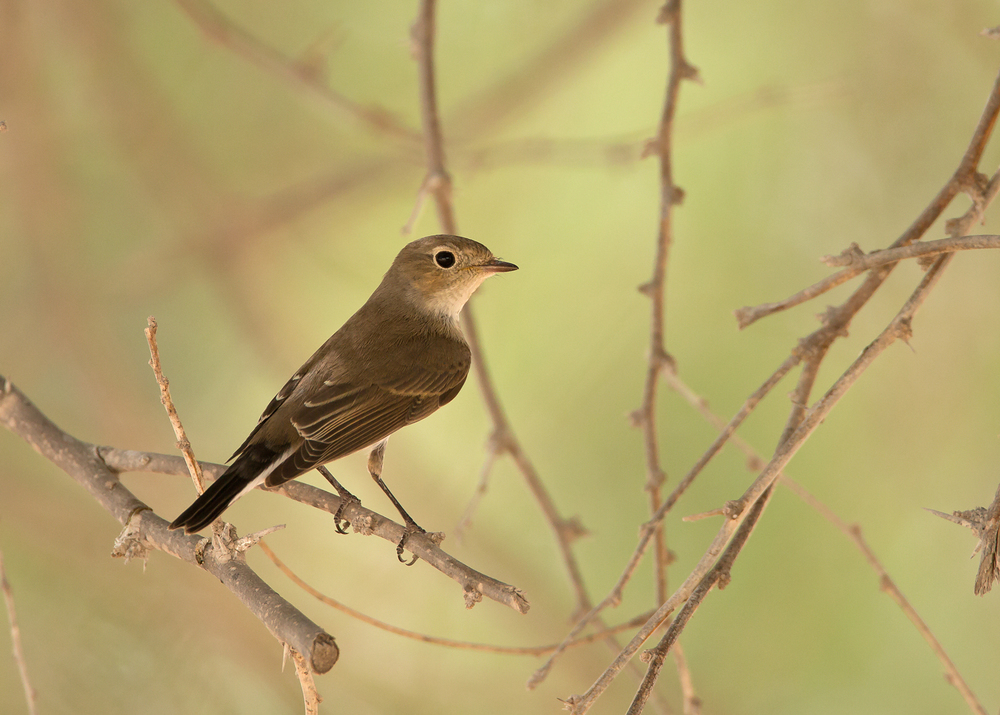 Red-breasted Flycatcher, Al Ghaftain Oct 2014