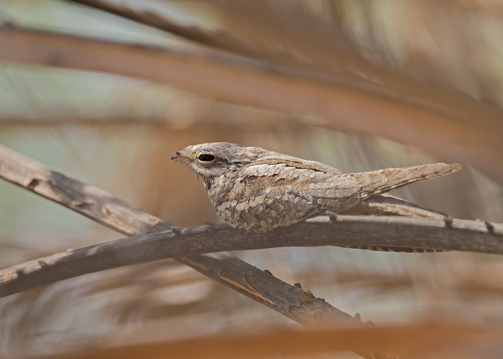 European Nightjar, Muntasar Oasis Nov 2014