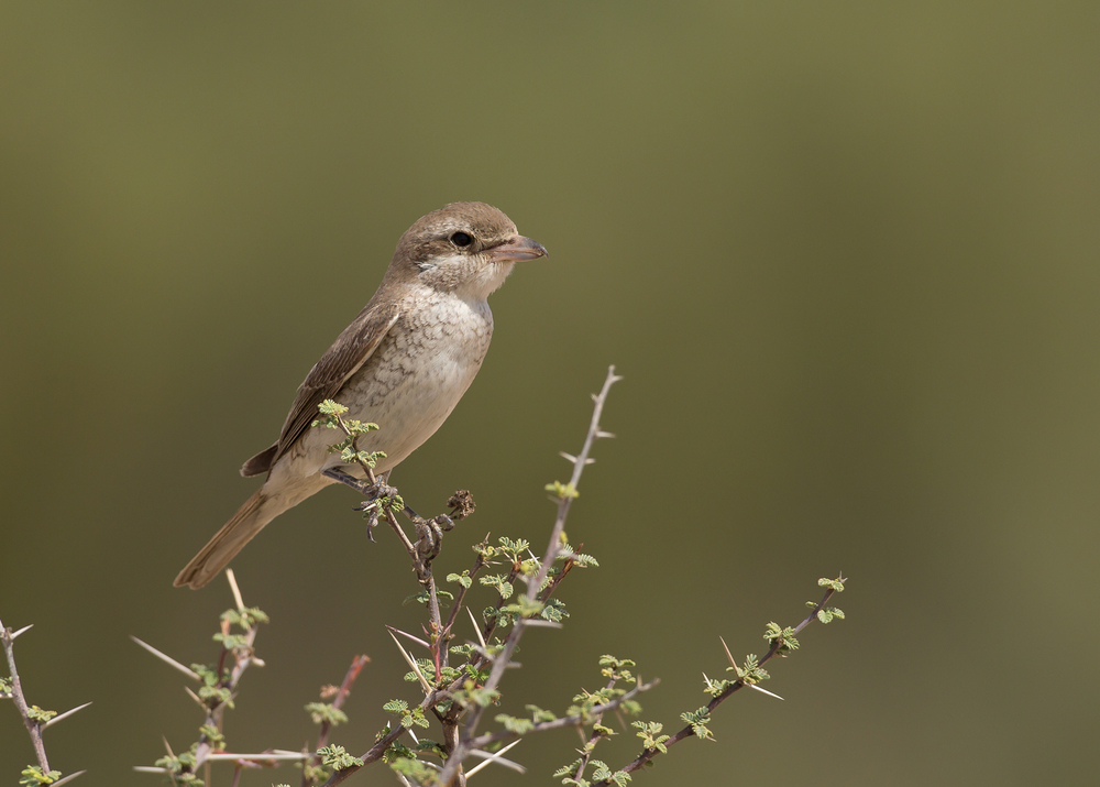 Turkestan Shrike, Qitbit Nov 2014
