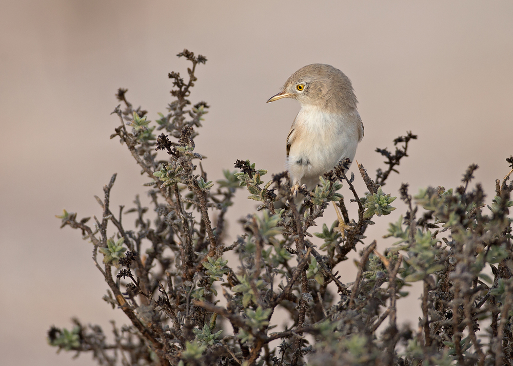 Asian Desert Warbler, Qitbit Nov 2014