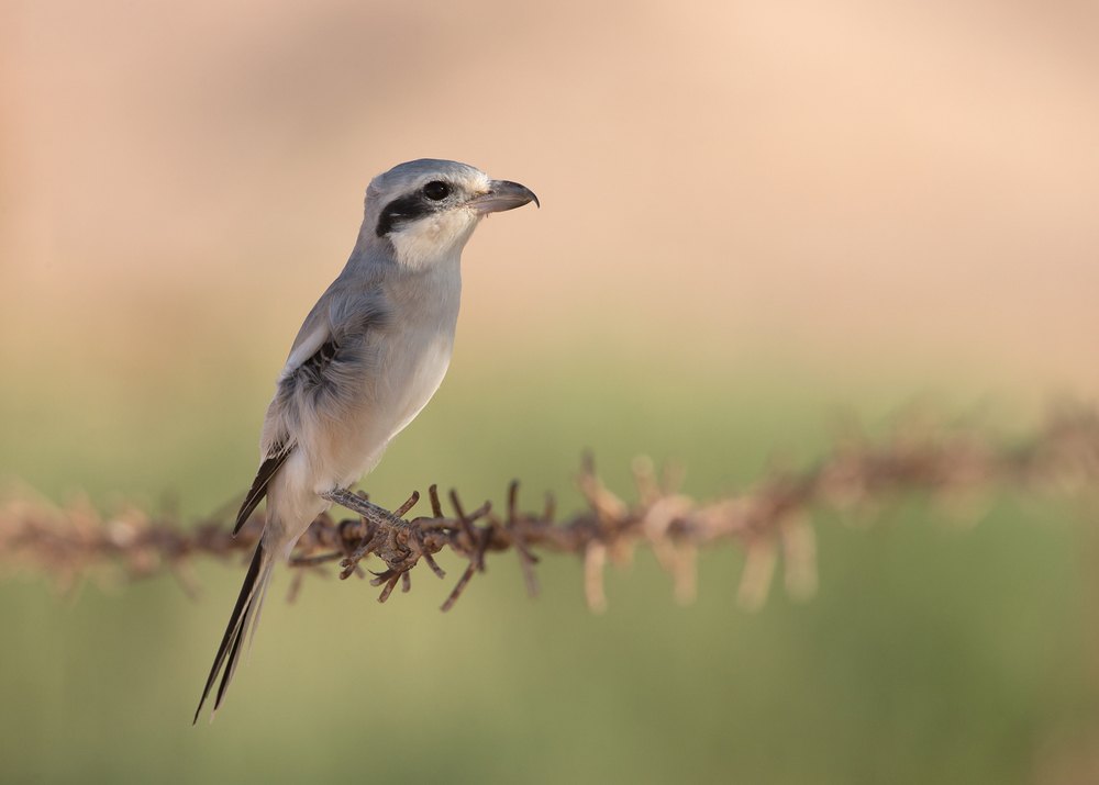 Steppe Grey Shrike, Al Shasr Nov 2014