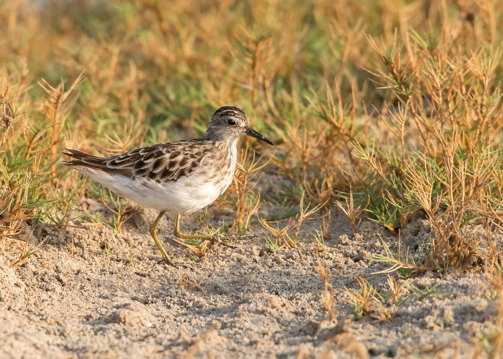 Long-toed Stint, East Khawr Nov 2014