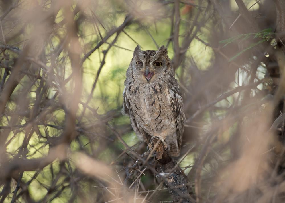 Arabian Scops Owl, Ayn Hamran Nov 2014
