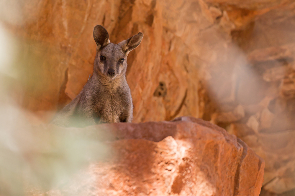 Black-flanked Rock Wallaby, Alice Springs Sep 2014