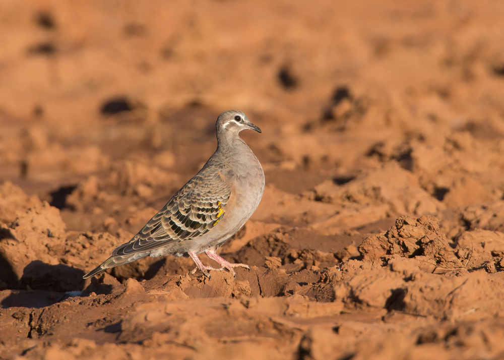 Common Bronzewing, Alice Springs NT Sep 2014
