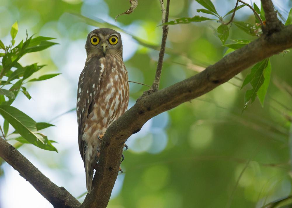 Barking Owl, Darwin NT Oct 2014