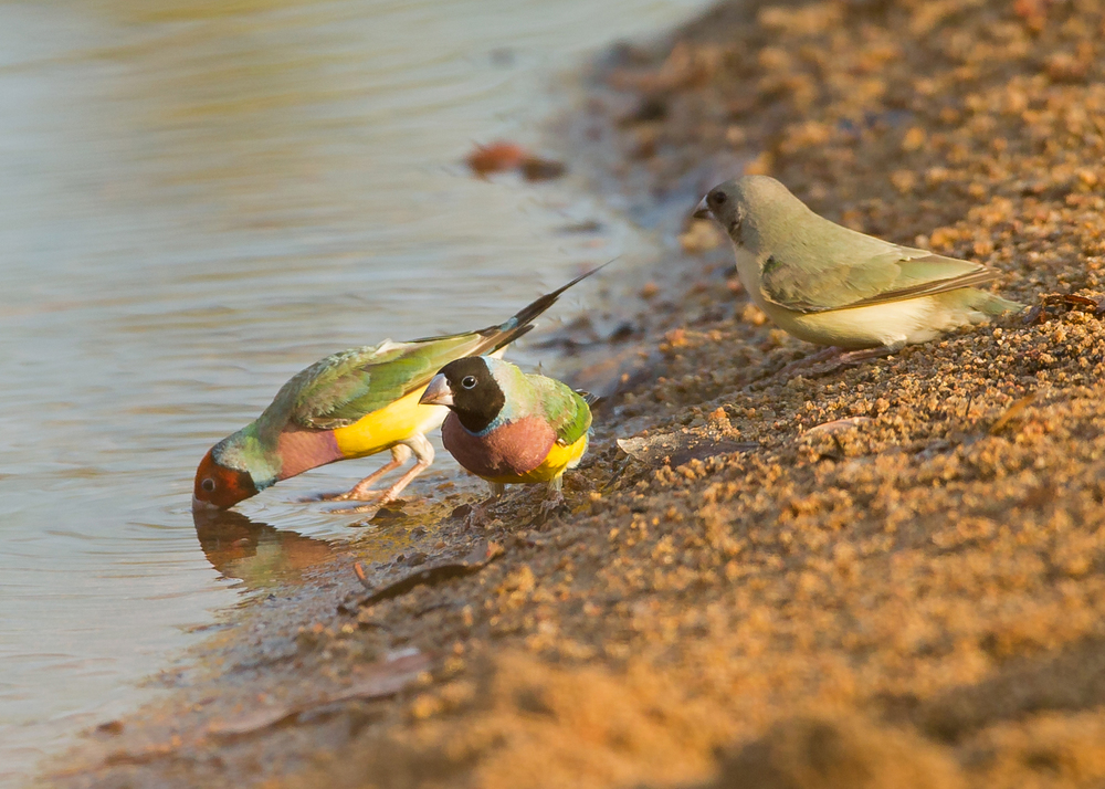 Gouldian Finch, Fergusson River NT Oct 2014