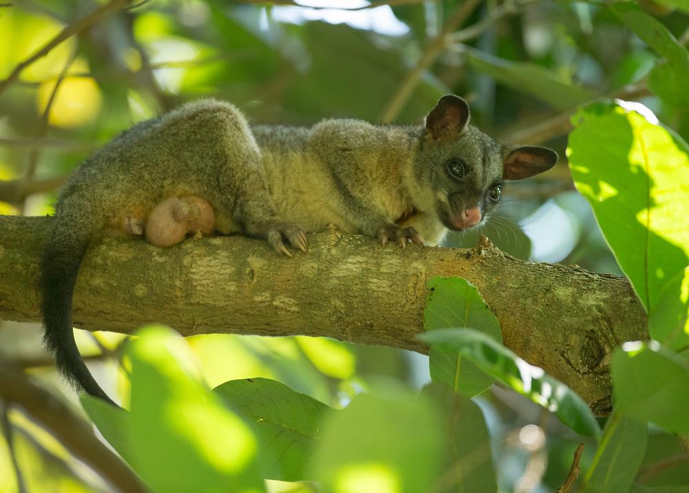 AN6V6165-Brush-tailed-Possum.jpg