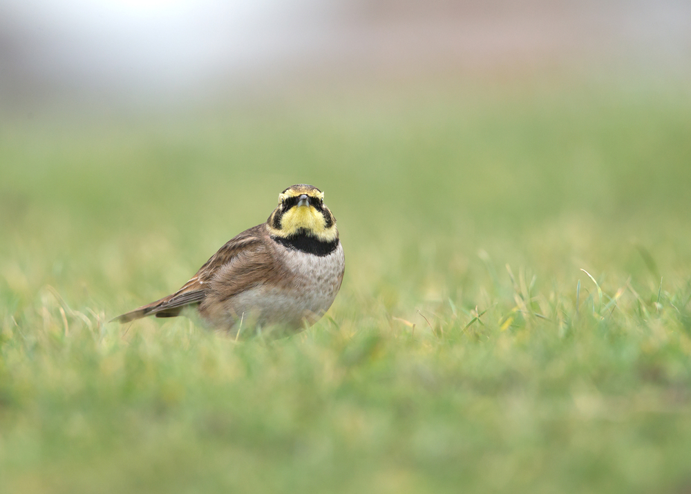 Shore Lark, Rossall Point, Fleetwood