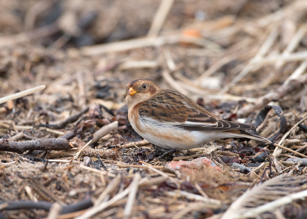 Snow Bunting, Rossall Point, Fleetwood
