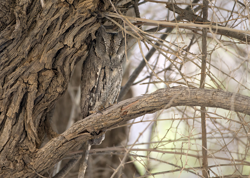 Pallid Scops Owl, Al Hajar Mountains, Oman, October 2014