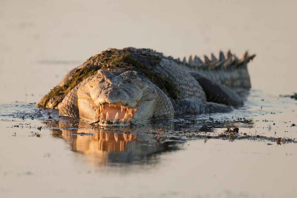 Estuarine Crocodile, NT, Sep 2014