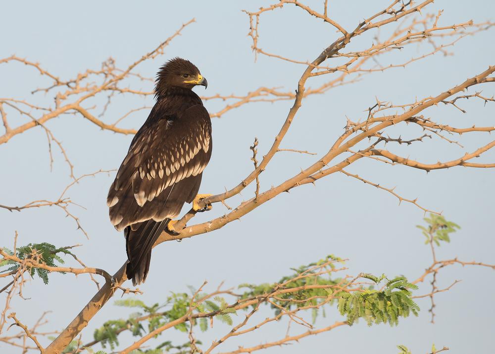 Greater Spotted Eagle, Salalah, Oman. Nov 2014