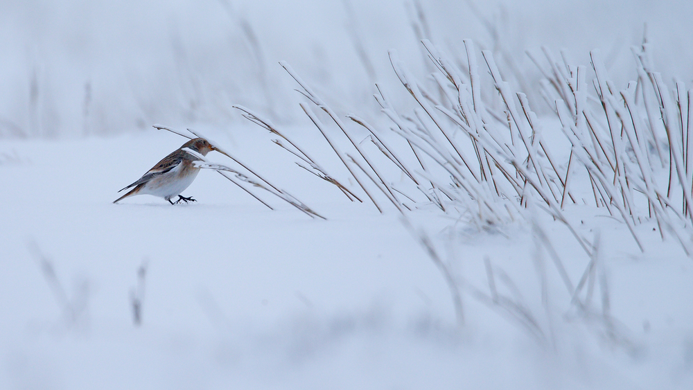 A Snow Bunting picking seeds from grass heads on Pendle Summit, they are amazingly hardy little birds.
