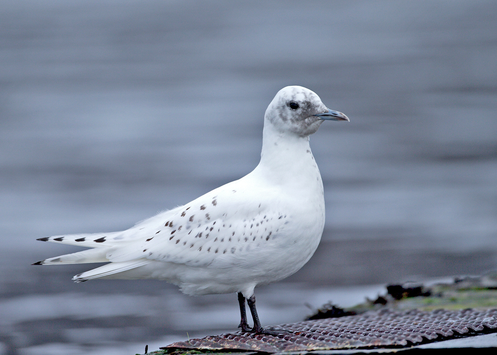 Ivory Gull, Ardmair January 2015