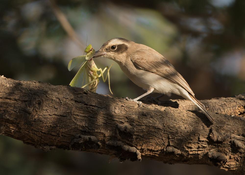 Common Woodshrike vs. mantis, Gir Forest NP, Jan 2015