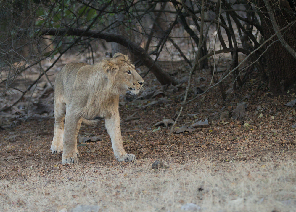 Asiatic Lion, Gir Forest NP Jan 2015