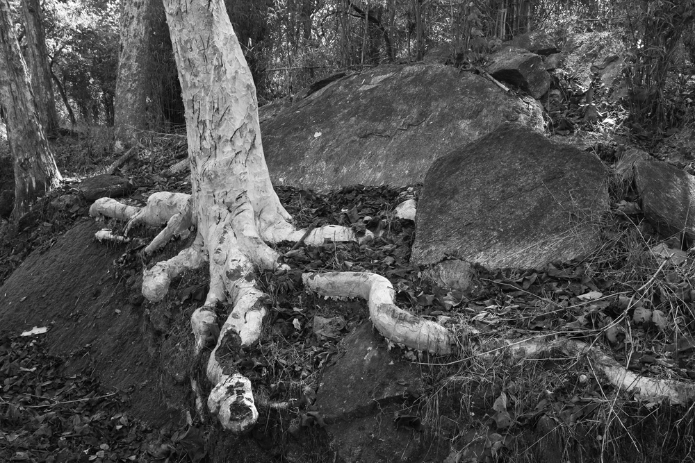 Ghost Tree, Kanha NP Feb 2015
