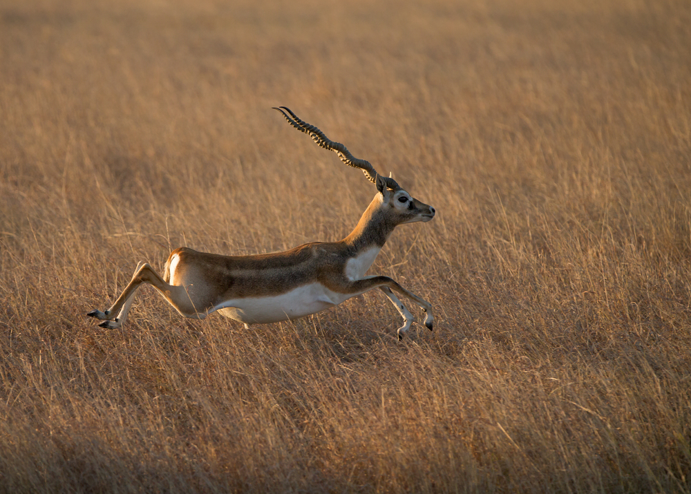 A male Blackbuck pronking at Blackbuck National Park, Velavadar