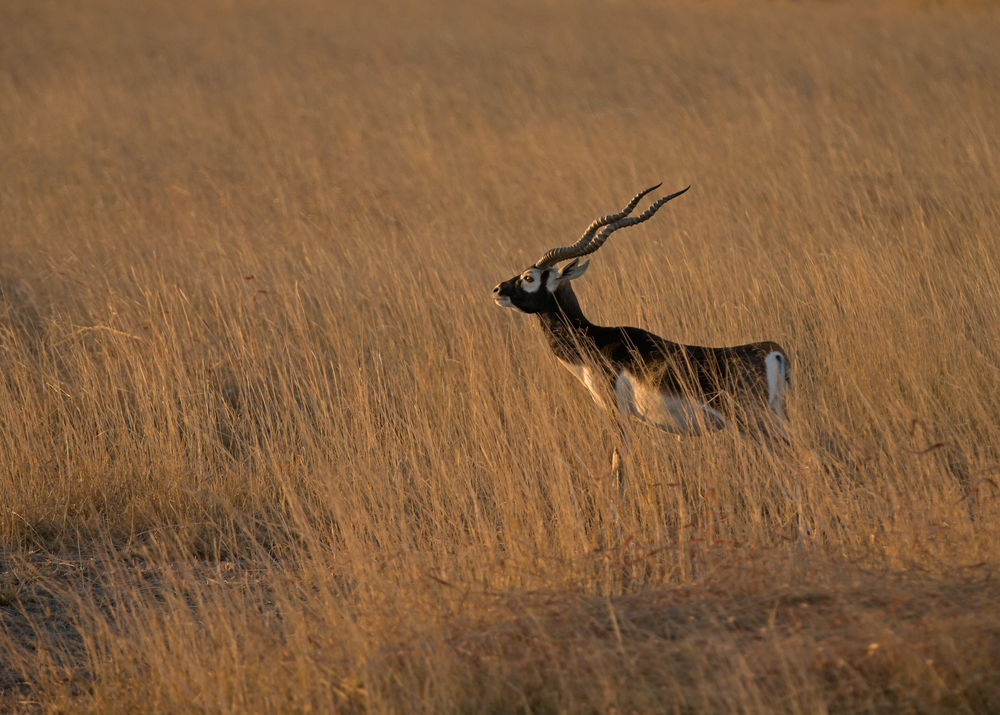 Blackbuck, Blackbuck National Park, Velavadar