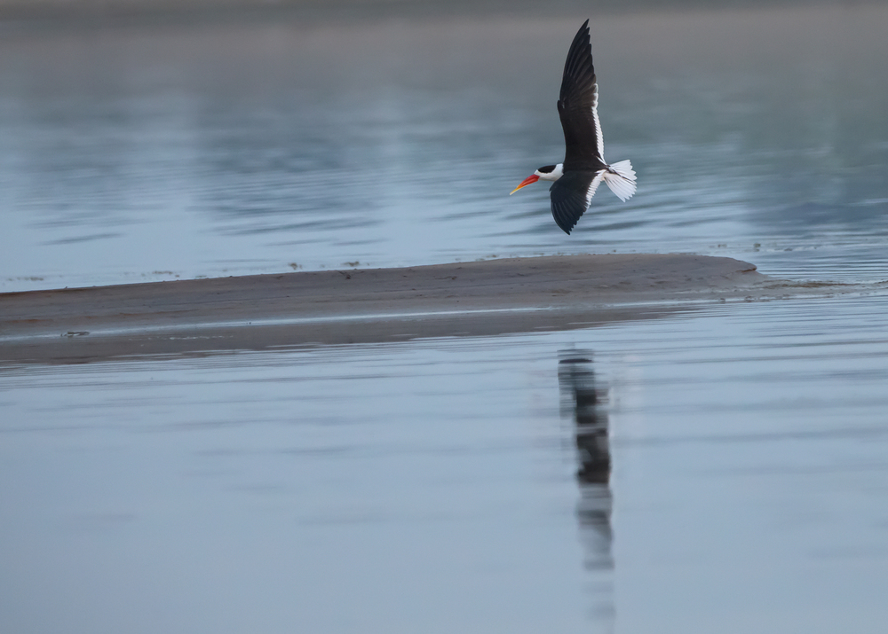 Indian Skimmer, Chambal River
