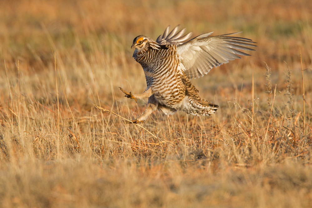 Greater Prairie Chicken, Wray CO Apr 2015