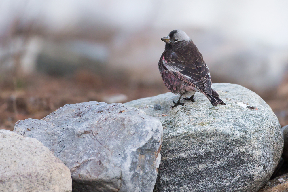Black Rosy-Finch, Silverthorne CO, Mar 2015