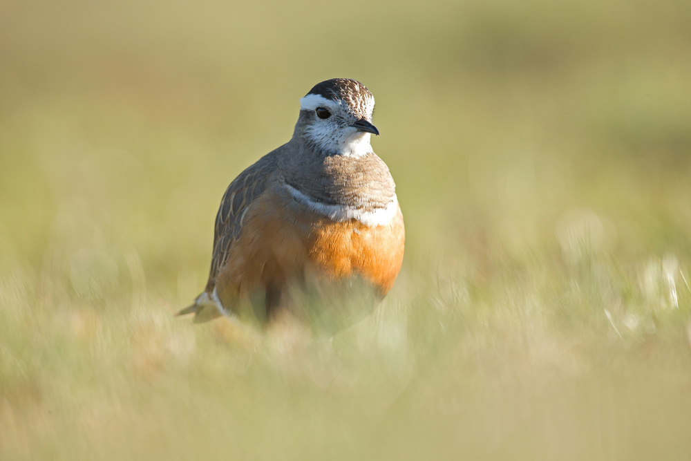 Eurasian Dotterel, Pendle Hill, East Lancs. Apr 2015