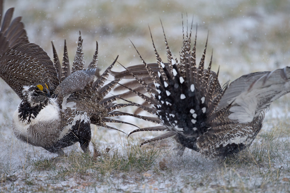 Sage Grouse, North Park, USA. Apr 2015