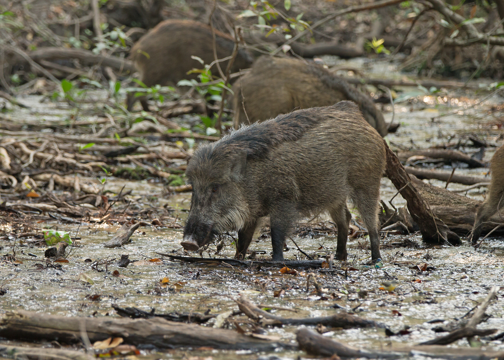 Wild Boar foraging in a forest stream at Bandhavgarh.