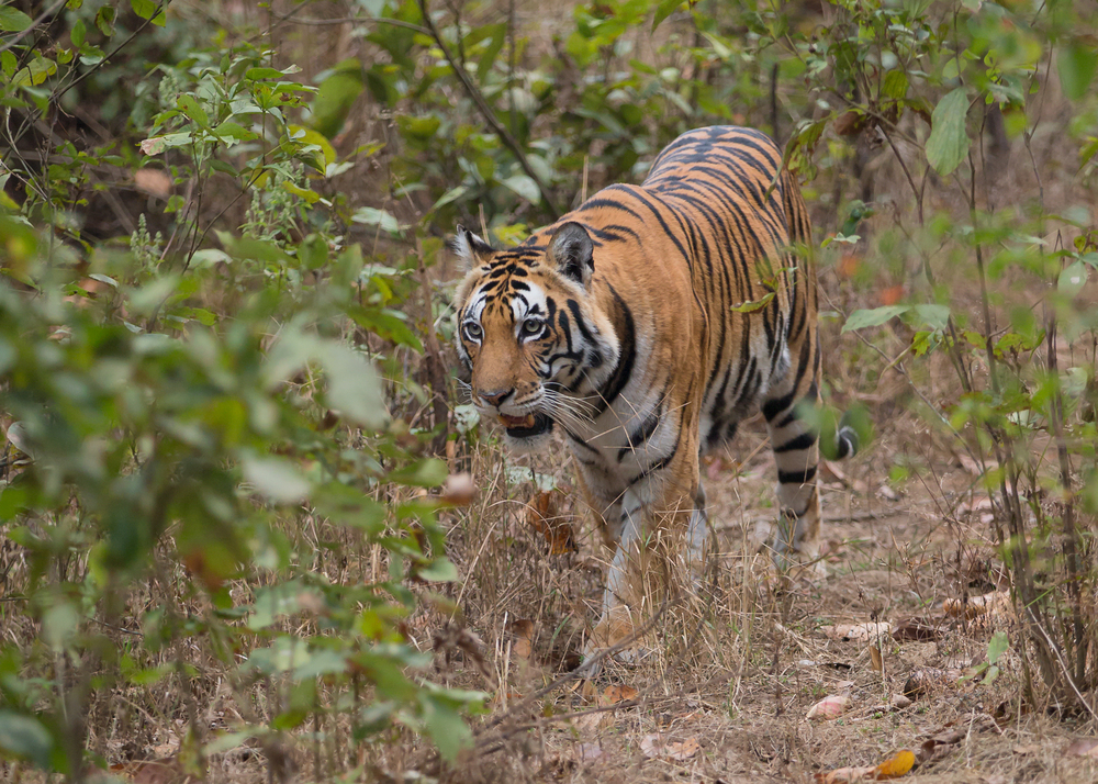 Bengal Tiger, Kanha - the Babatega female.