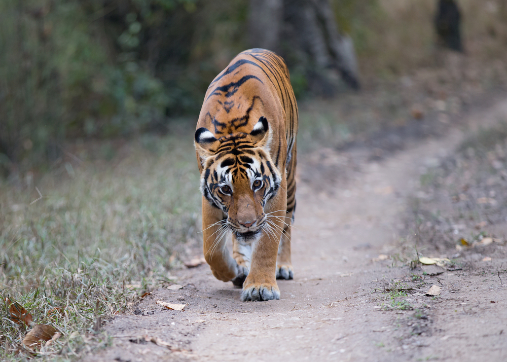 Bengal Tiger, Kanha. There's no feeling like when they look you in the eye at close range!