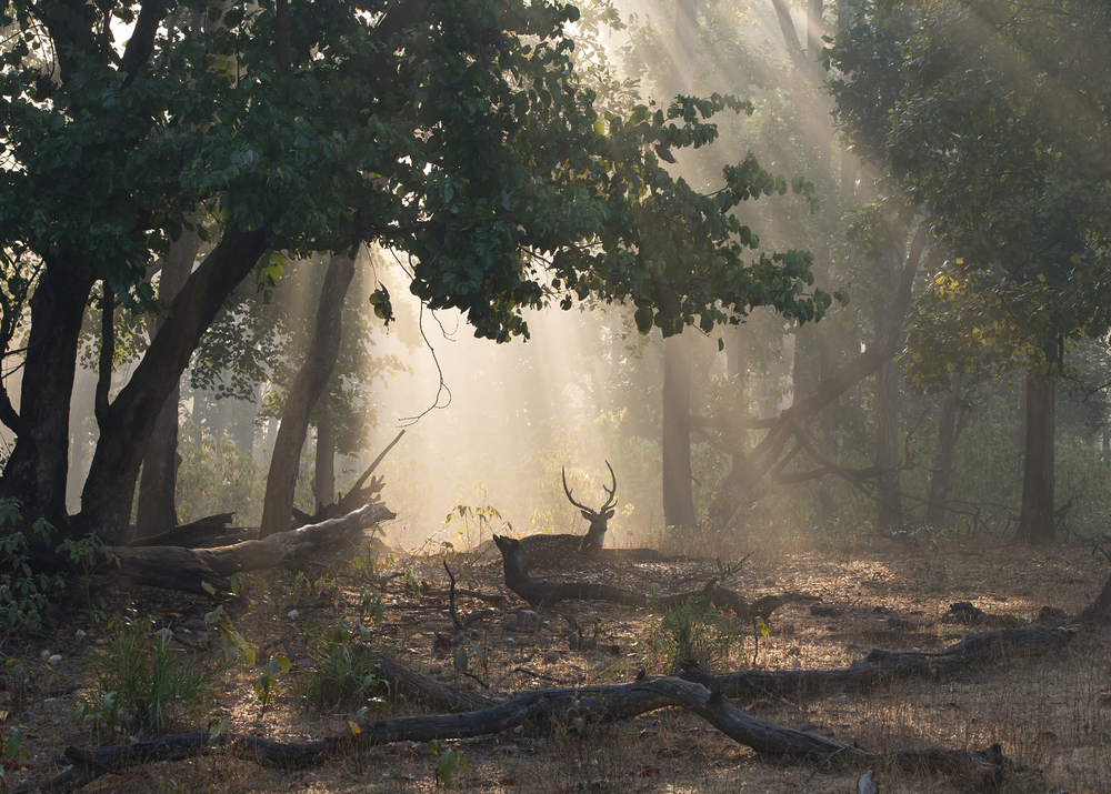 A Chital (or Spotted Deer) stag in early morning rays of sunshine.