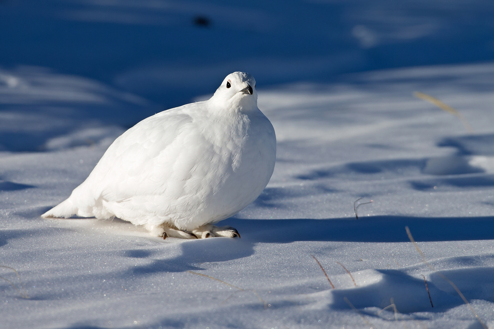 White-tailed Ptarmigan - a vision of blue-and-white in the first rays of early morning sun.