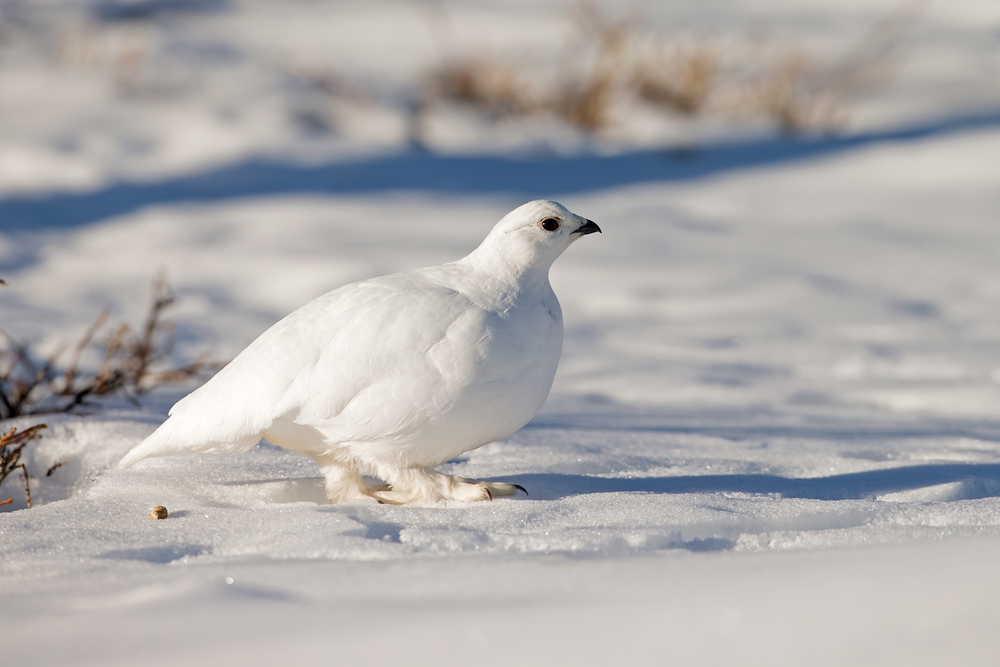 white_tailed_ptarmigan.jpg
