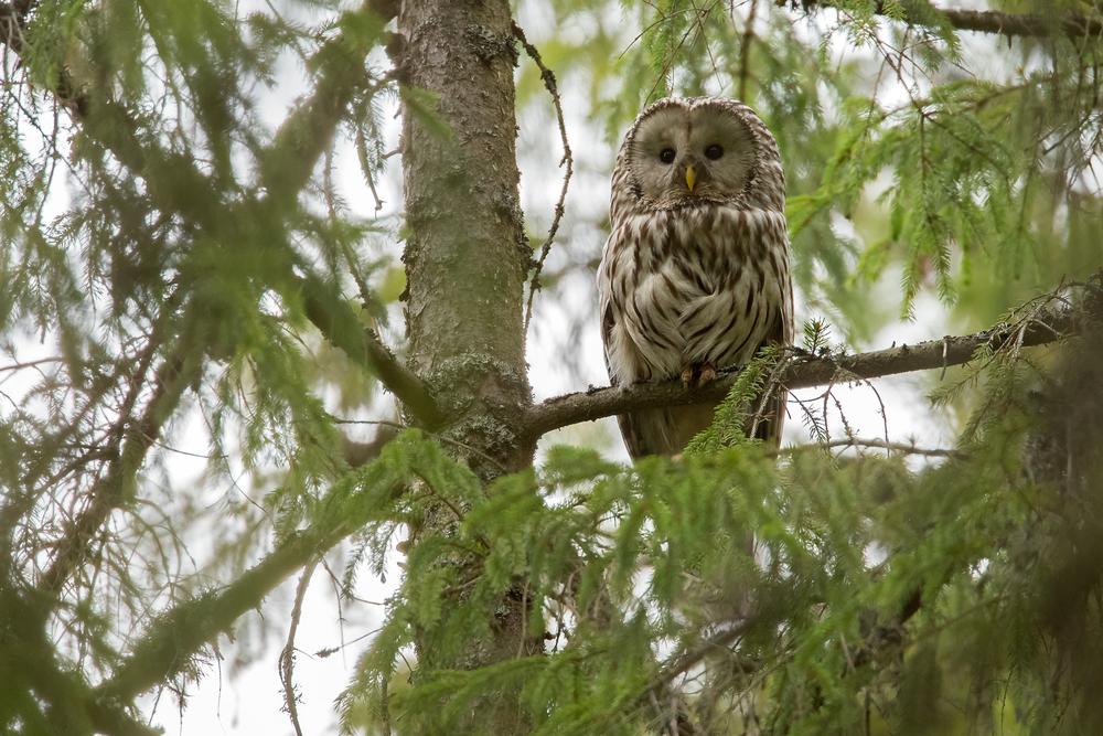 Ural Owl, Krasny Bor Reserve. May 2015