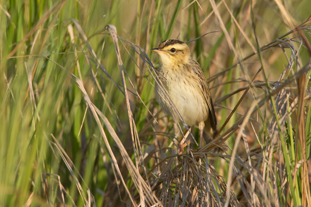 Aquatic Warbler, Sporovo Reserve. May 2015
