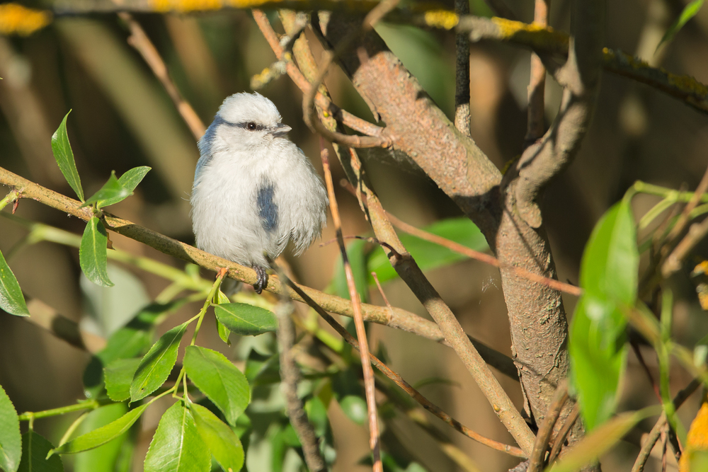 Azure Tit, Alshany. May 2015