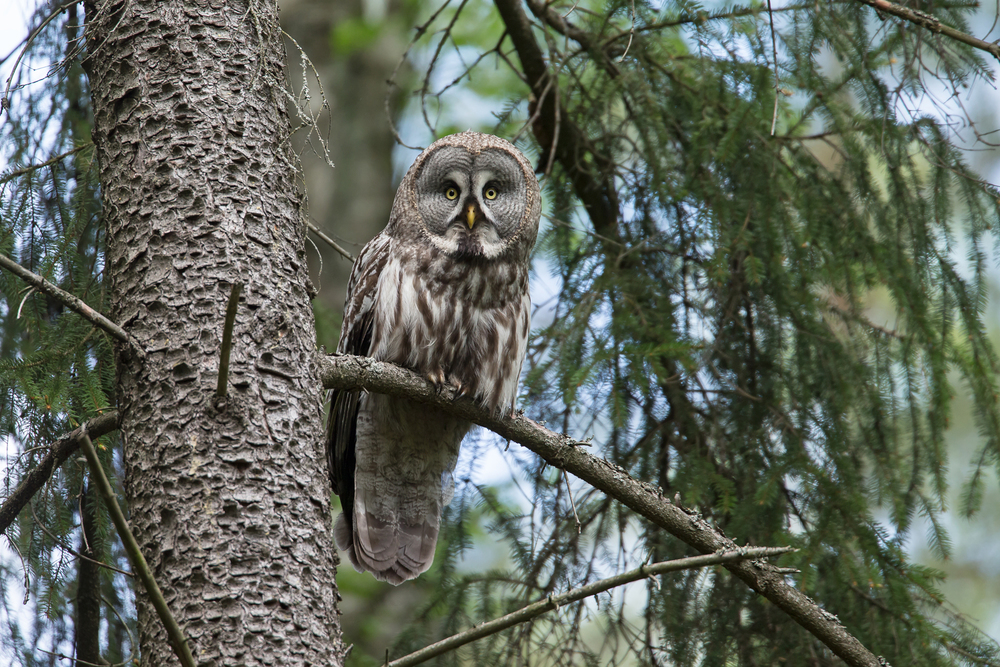 Great Grey Owl, Vygonoshansky Reserve, Belarus May 2015.