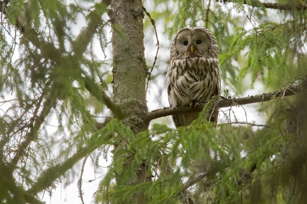 Ural Owl - a female peers down at us near its nest site in Krasny Bor.