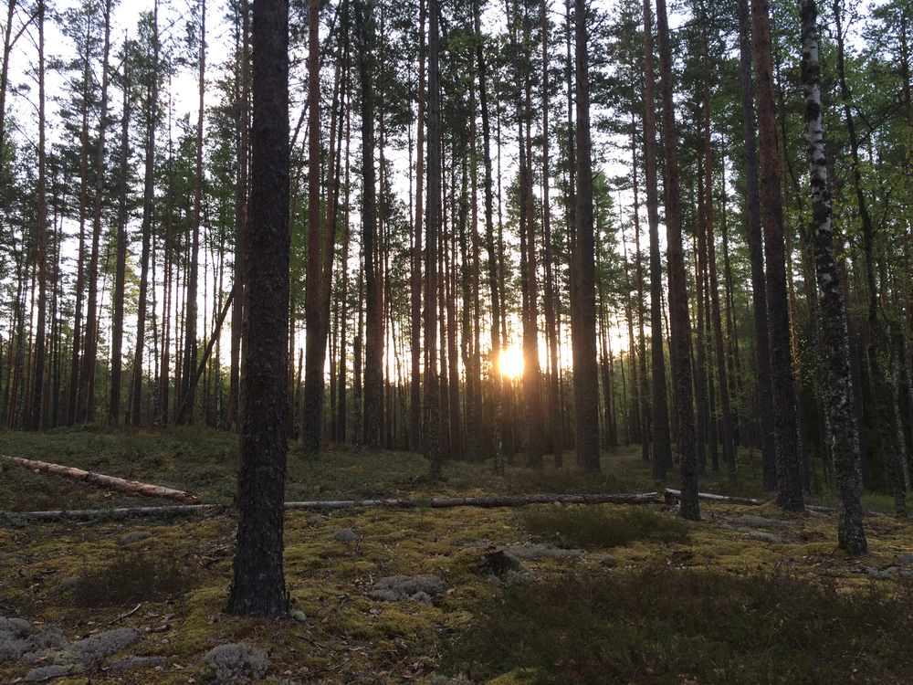 Scots pine forest in Krasny Bor.