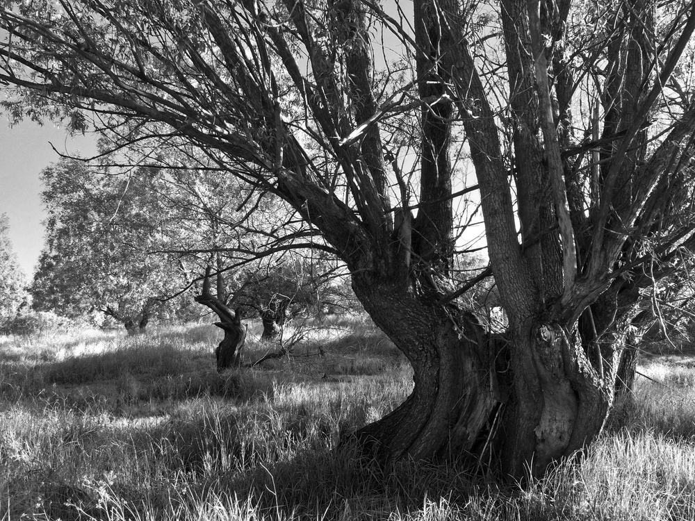 Ancient willows at Doroshevichy, Pripyatsky National Park.