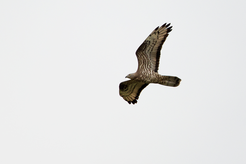 European Honey-Buzzard (male), Doroshevichy riverwatch, Pripyatsky National Park.